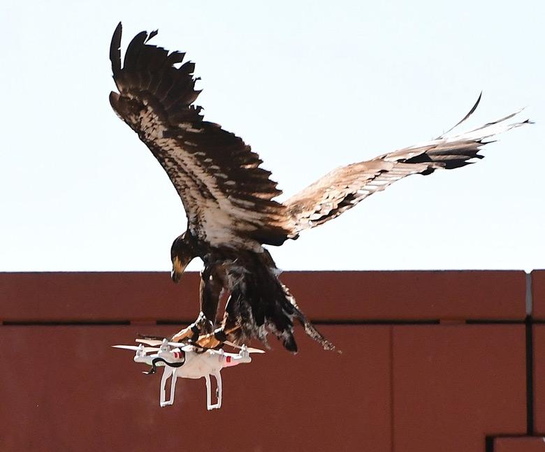 Орлы для перехвата дронов оказались не у дел