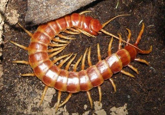 Ученые смогли обезвредить токсин сколопендры