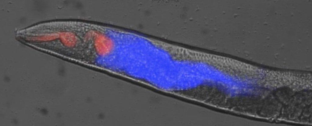 Изучение смерти червей позволяет понять механизм наступления гибели организма - 1
