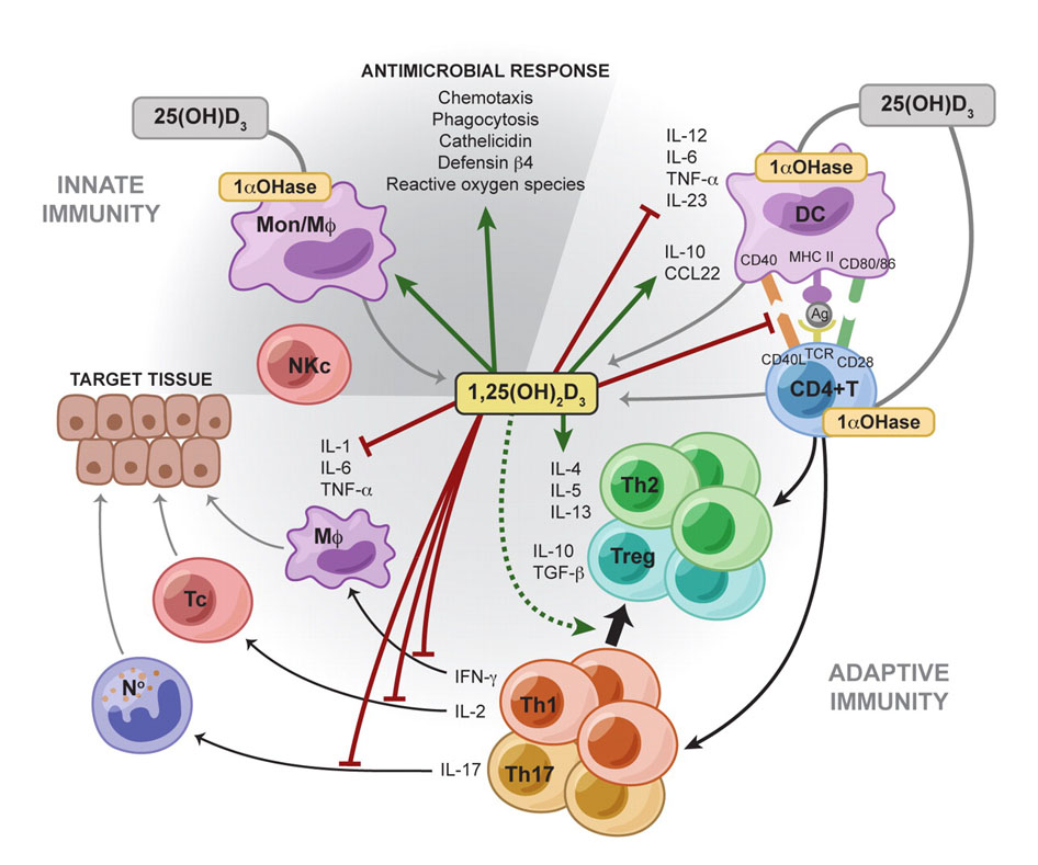 Витамин D — механизм действия и нужно ли принимать добавки (Lifext investigations) - 2