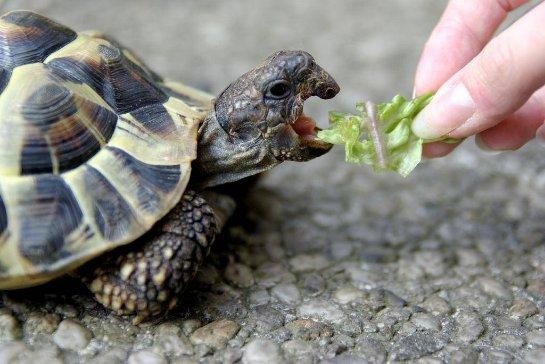 Морские черепахи едят, держа пищу двумя лапами
