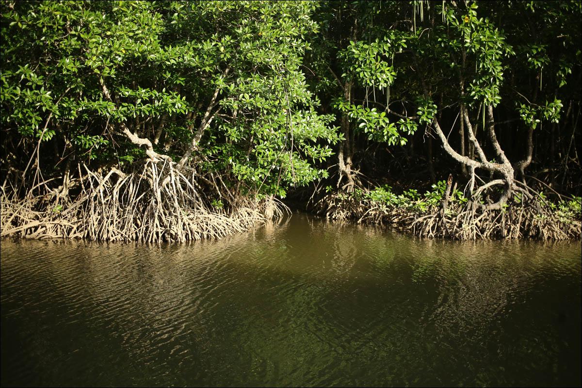 Мангровый лес: крутейший биом планеты - 9