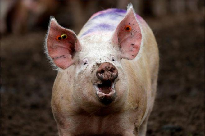 Ученые смогли восстановить кровообращение в обезглавленных свиней