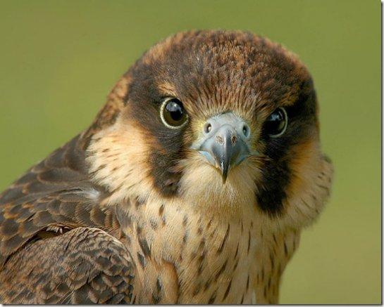 Ученые поняли, где находится птичий биокомпас
