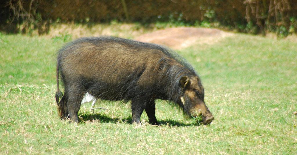 Большие лесные свиньи: редкое видео