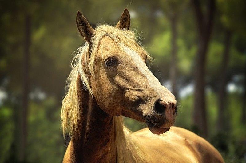 Лошади умеют соотносить эмоции на лице и в голосе человека