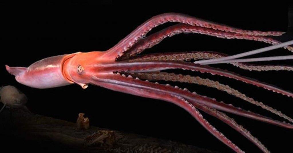 Гигантские кальмары, черви и медузы — рекордсмены среди беспозвоночных