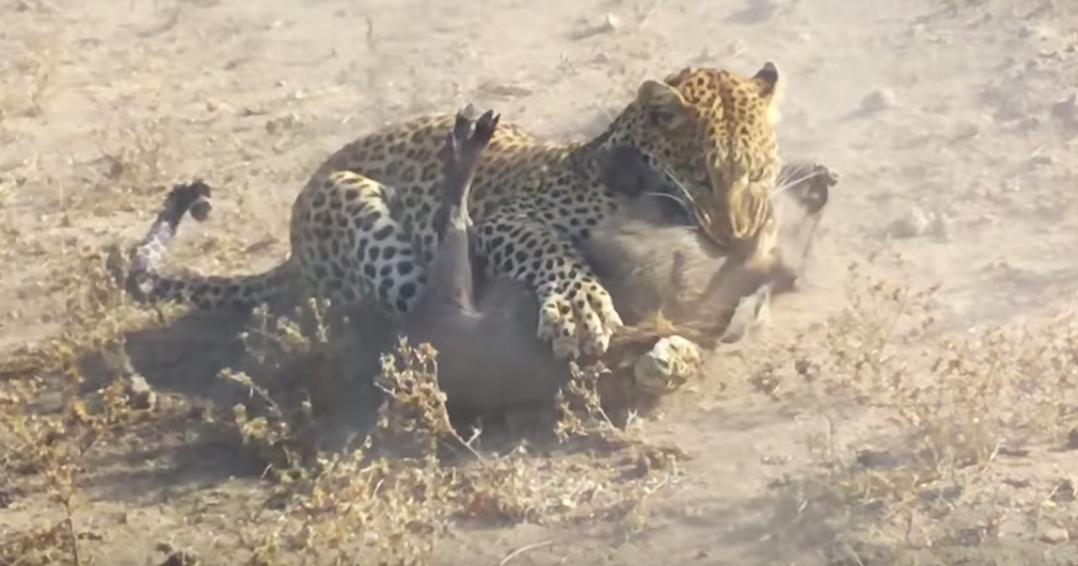 В кадр попала удачная охота леопарда