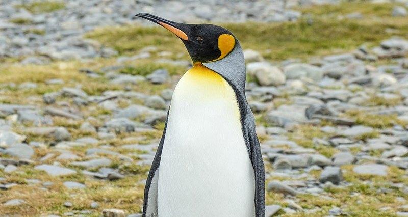 Численность крупнейшей колонии королевских пингвинов сильно сократилась