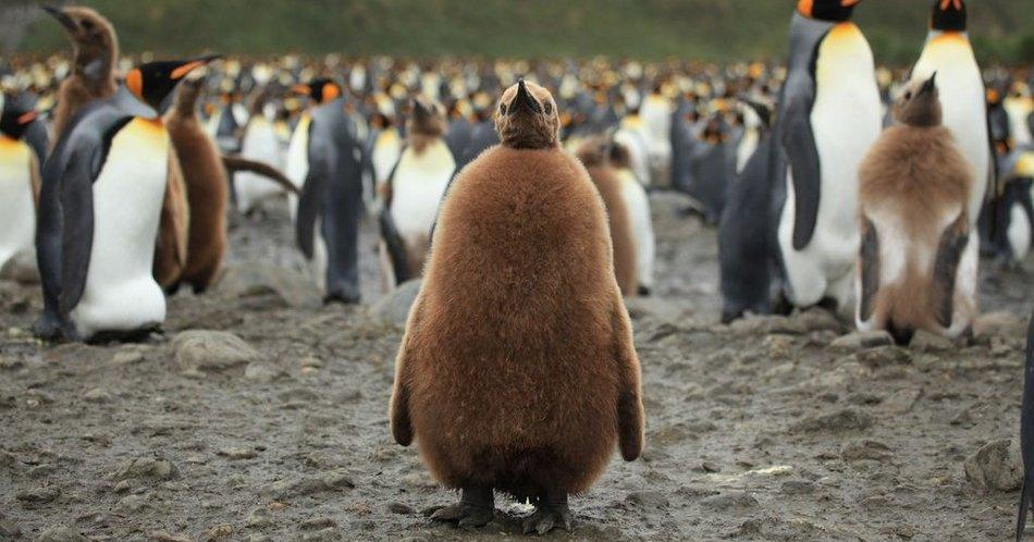 Самая большая в мире колония королевских пингвинов больше не самая большая