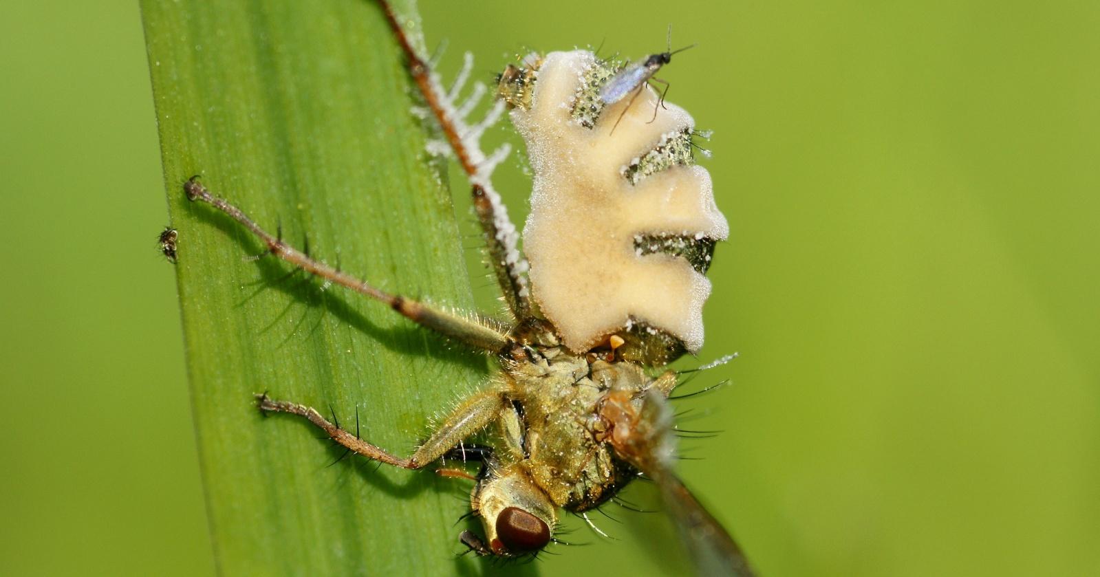 Открыт грибок, превращающий насекомых в «зомби»