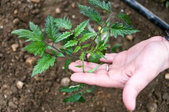 Crispr может ускорить природные процессы и изменить способы выращивания еды - 3