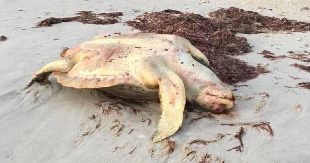 Водоросли-убийцы: почему во Флориде массово гибнут морские животные