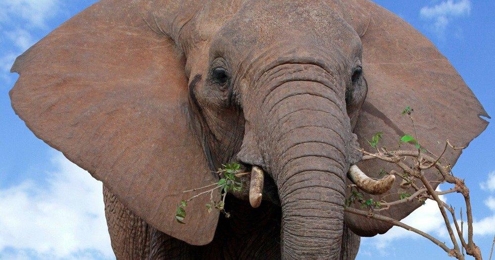Найден ген, позволяющий слонам не болеть раком