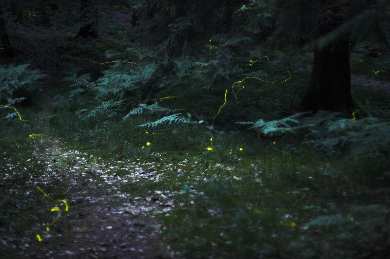 Для чего светятся жуки-светляки?