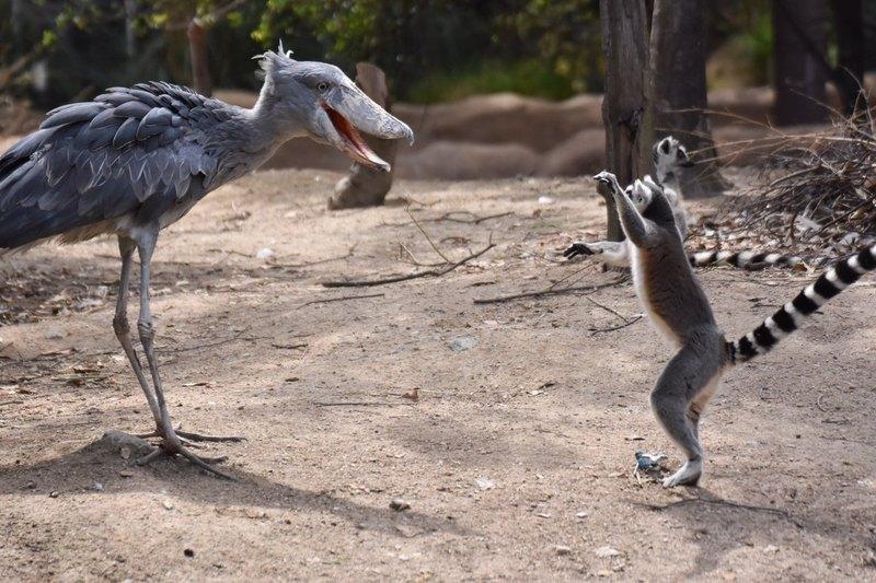 Китоглав: 7 фактов об удивительной птице