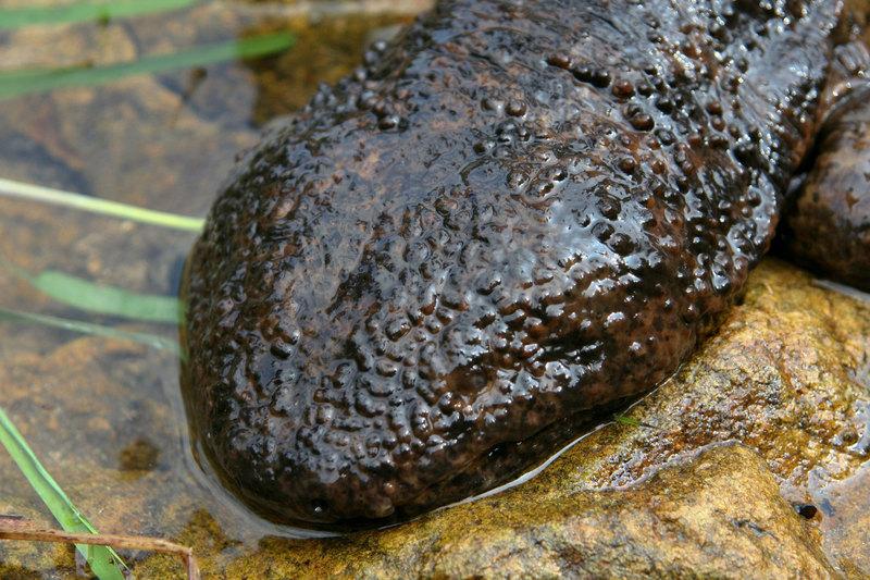 Не только белые и пушистые: 7 фактов о японской исполинской саламандре