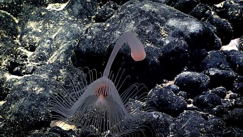 Самые невероятные формы жизни, найденные на глубине Тихого океана