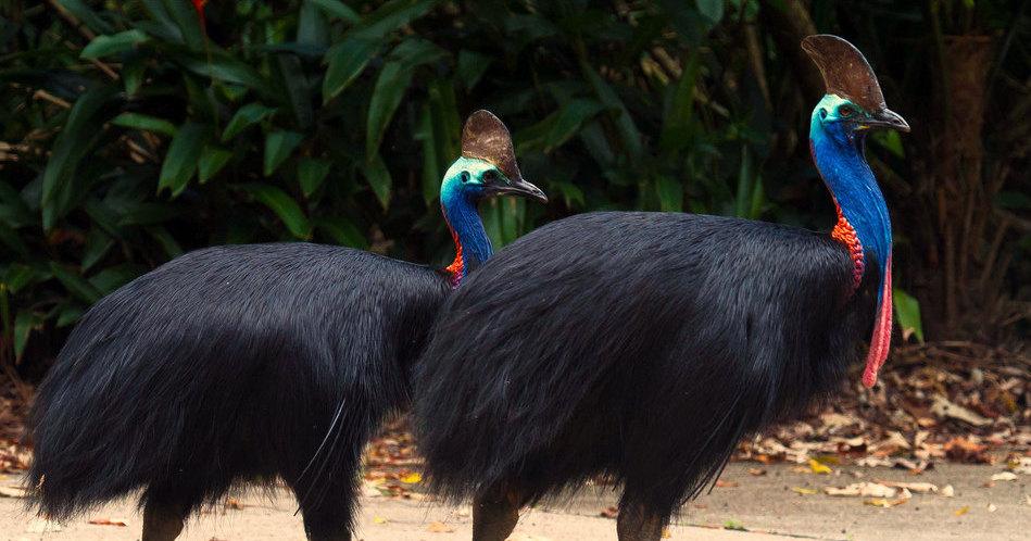 Казуары: 6 фактов о нелетающей птице