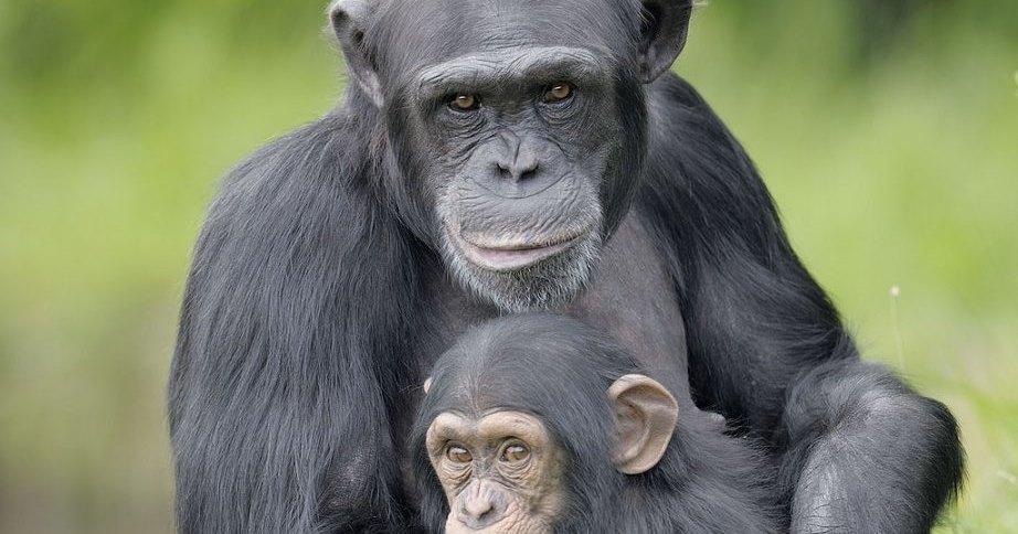 Шимпанзе умеют делиться едой