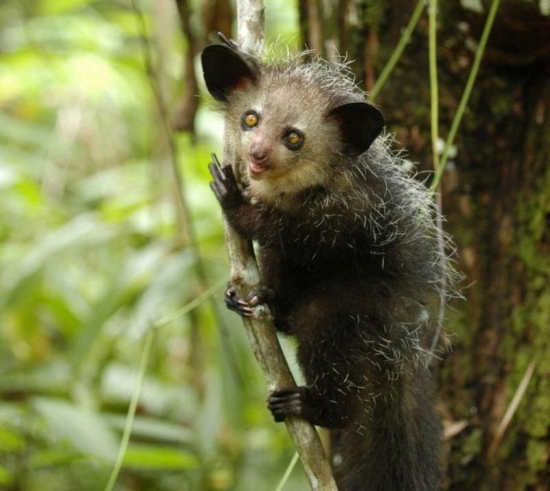 Мадагаскарская руконожка: самое загадочное животное - 3