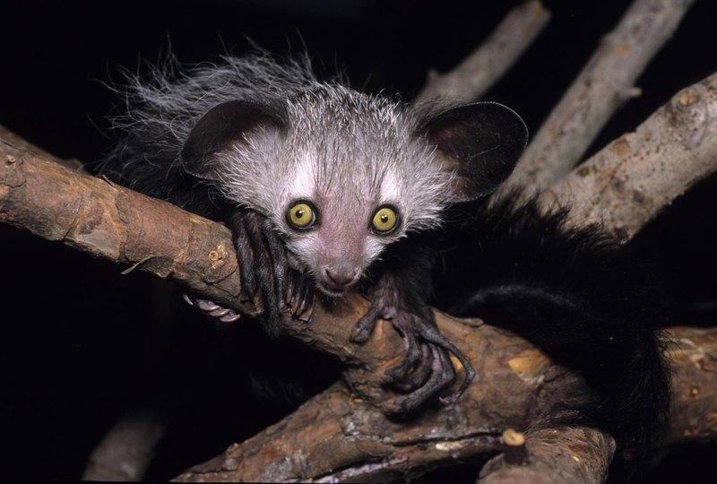 Мадагаскарская руконожка: самое загадочное животное