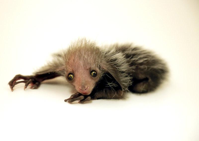 Мадагаскарская руконожка: самое загадочное животное - 7