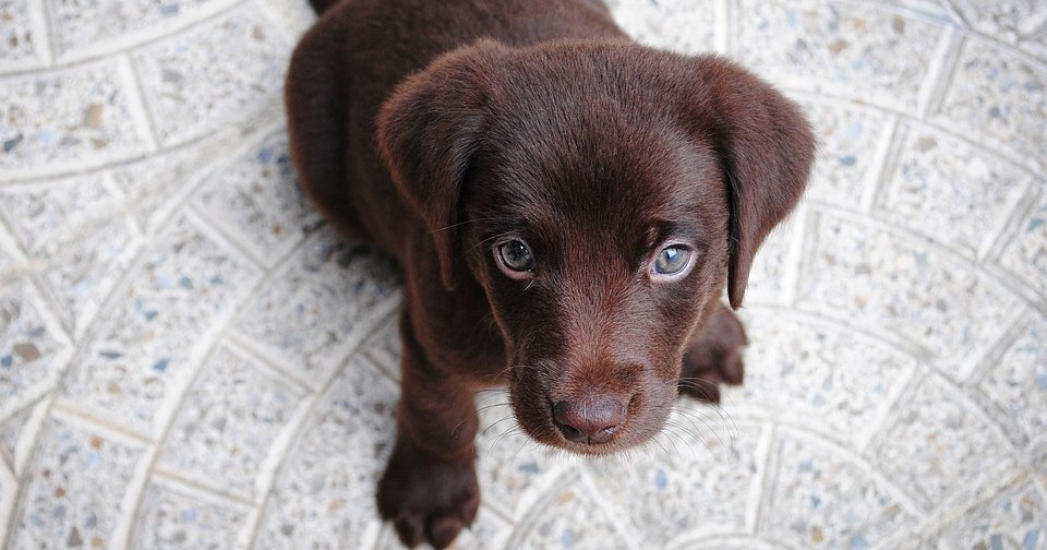 Шоколадные лабрадоры живут меньше, чем золотистые и черные: исследование