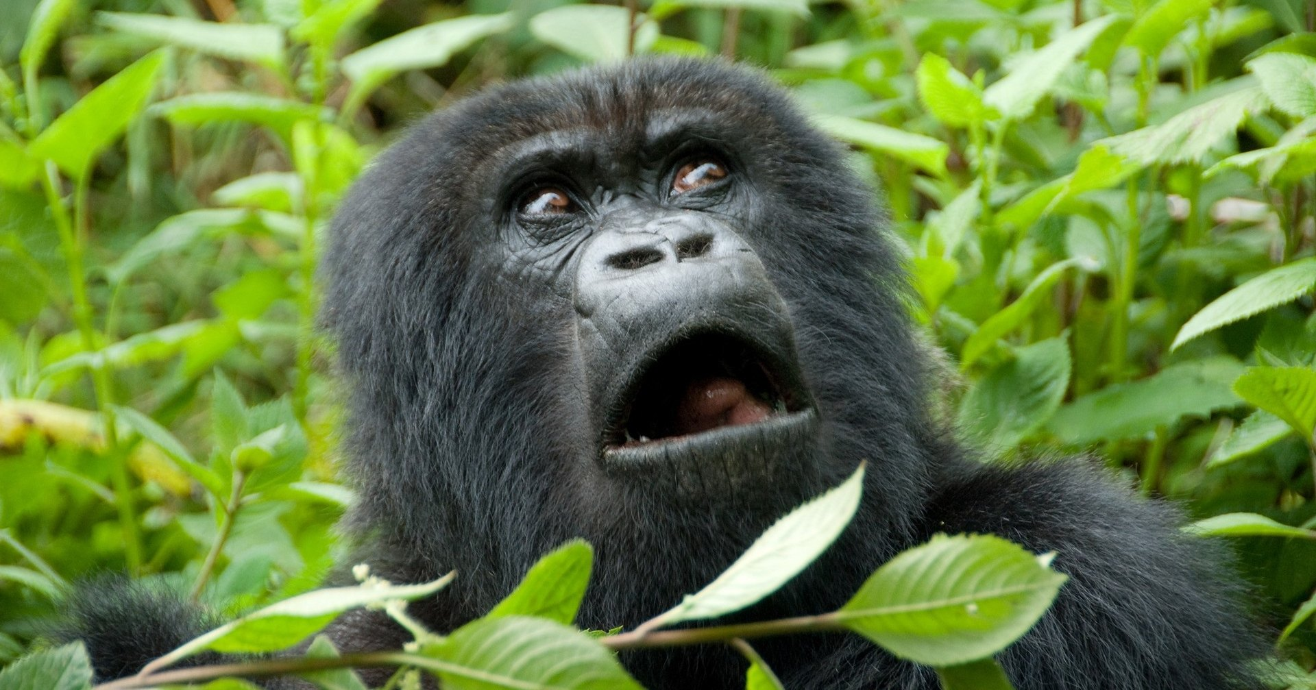 Расизм на грани абсурда: почему Google Photo больше не распознает горилл