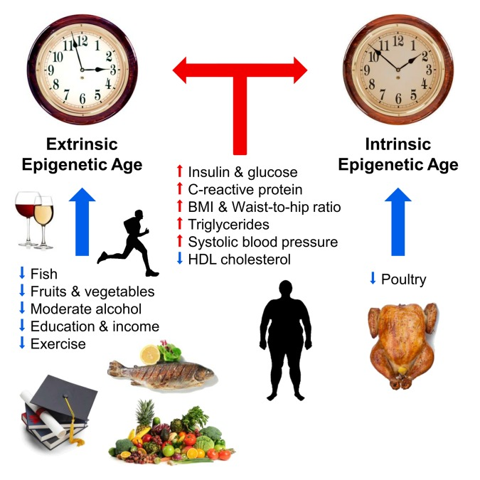 Эпигенетические биомаркеры старения - 2
