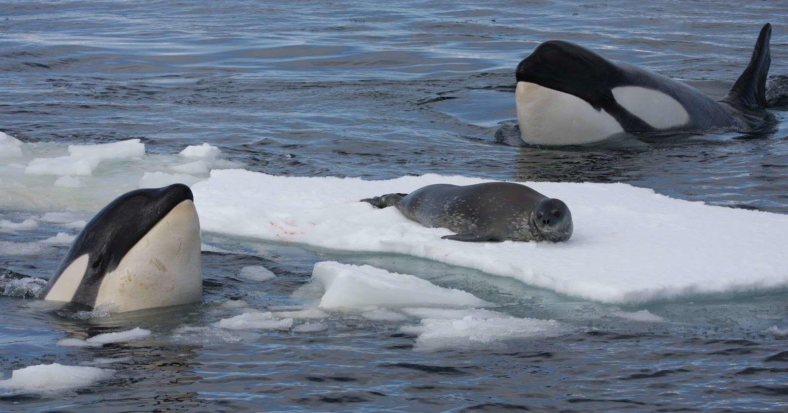 Как косатки смывают тюленей со льда