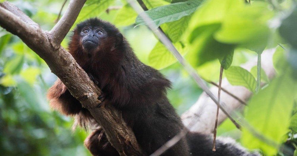 Ученые раскрыли тайну ямайской обезьяны