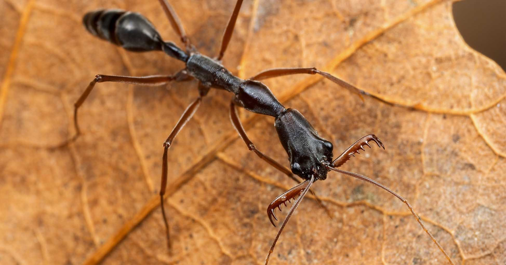 Ядовитые капканы из вражеских голов: как воюют самые жестокие муравьи