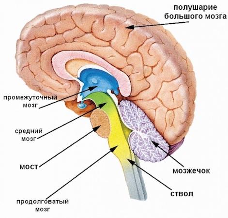 Мозжечок и базальные ядра вместо хрустального шара: как мозг предсказывает будущее - 2