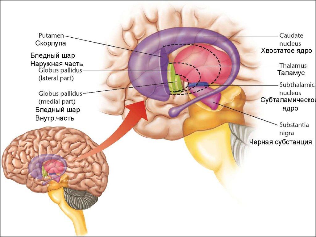 Мозжечок и базальные ядра вместо хрустального шара: как мозг предсказывает будущее - 3