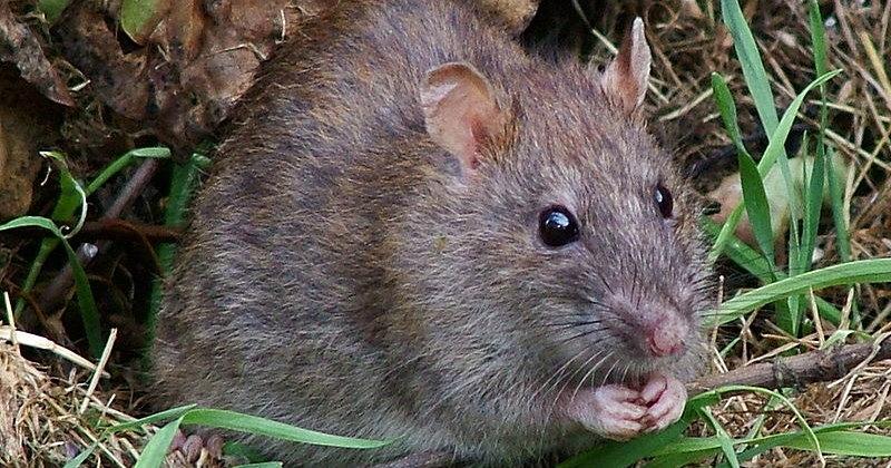 Зафиксирован второй случай заражения человека крысиным гепатитом