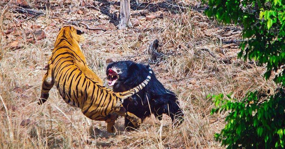 Тигр против медведя: смертельный поединок