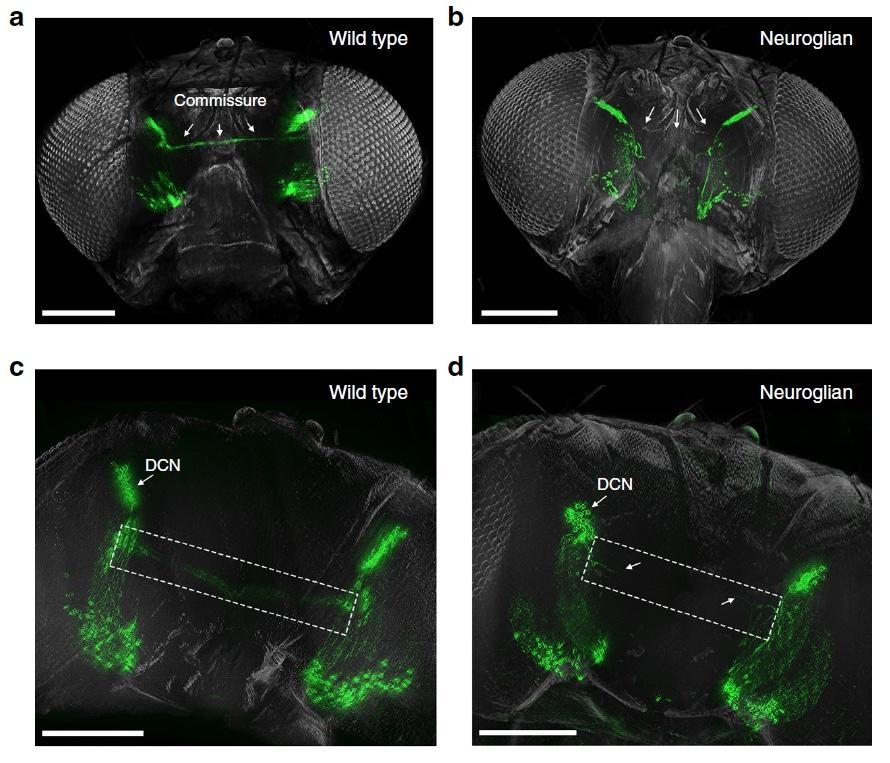 «Невидимые» мухи: новый метод изучения нервной системы посредством депигментации тканей - 15