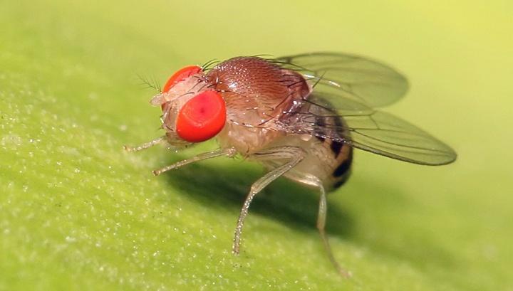 «Невидимые» мухи: новый метод изучения нервной системы посредством депигментации тканей - 3