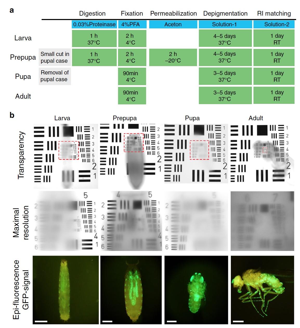 «Невидимые» мухи: новый метод изучения нервной системы посредством депигментации тканей - 5