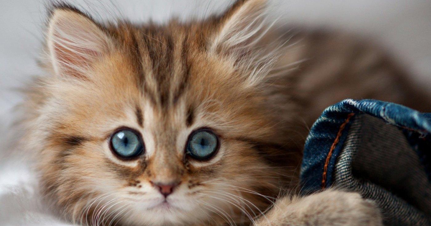 Китайцы клонируют котенка