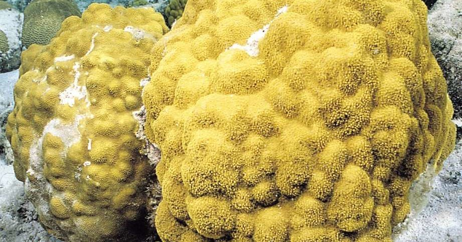У кораллов обнаружен слух
