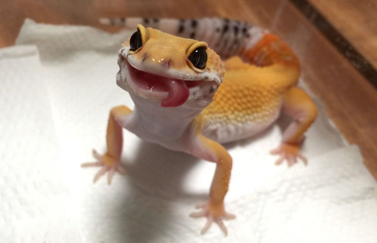 Run, Gecko, run: гибридный механизм движения по воде у гекконов - 1