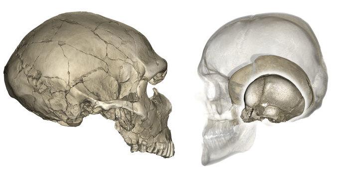 Почему у неандертальца череп плоский, а у современного человека — круглый
