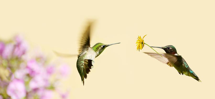 Быстрее, громче, ярче: физика брачных «танцев» колибри - 1