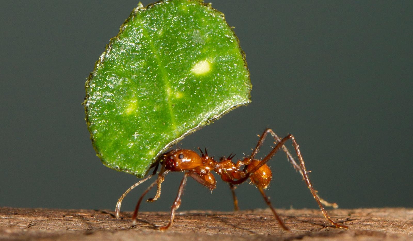 Маленькие создания, большие деяния: роль листорезов в парниковом эффекте неотропики - 2