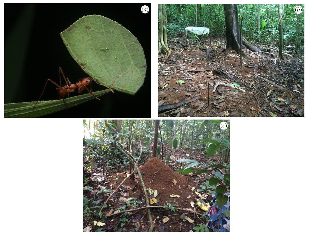 Маленькие создания, большие деяния: роль листорезов в парниковом эффекте неотропики - 4