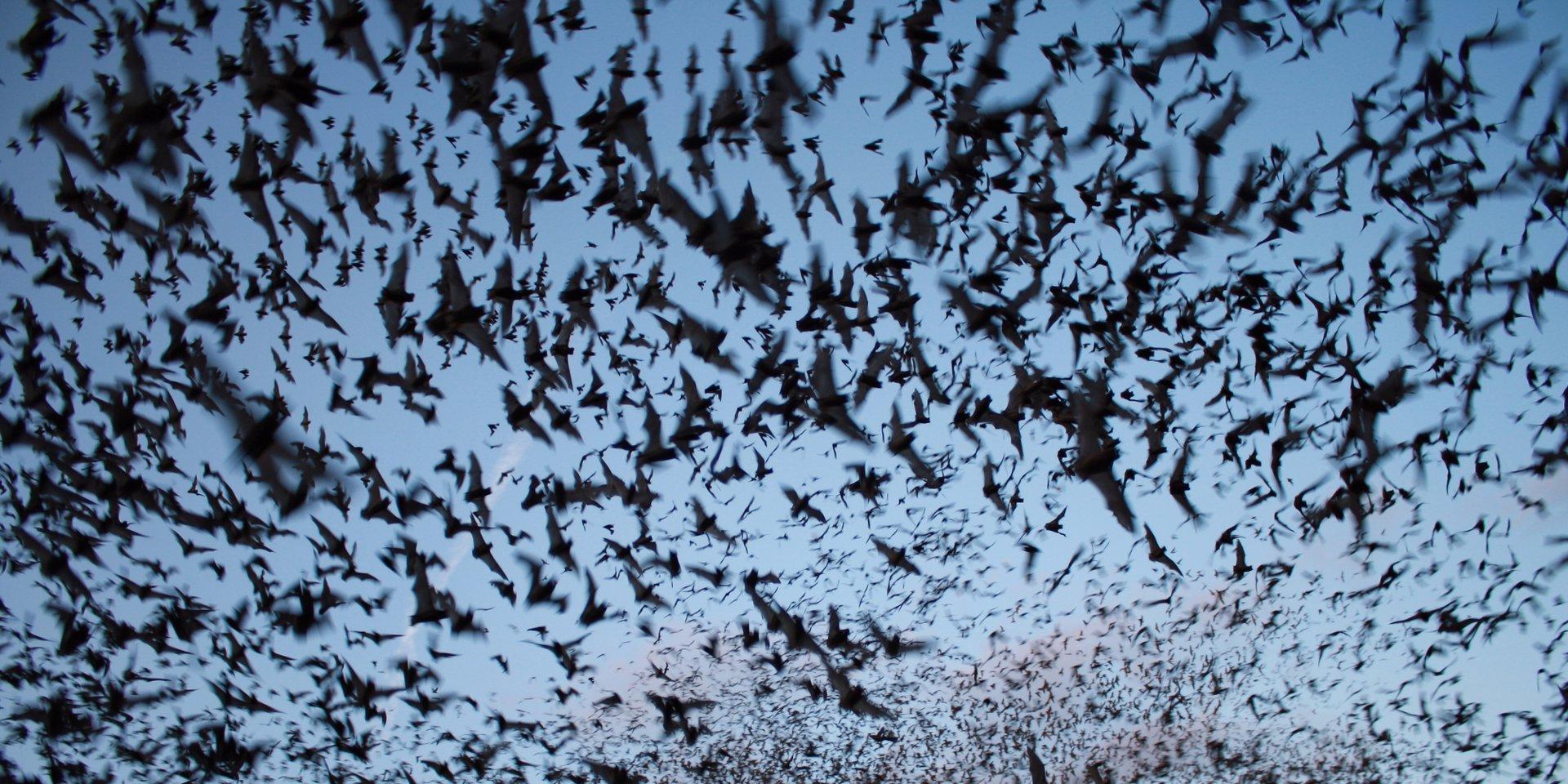 Кровавый поцелуй: вазорелаксационные свойства слюны летучих мышей-вампиров - 1