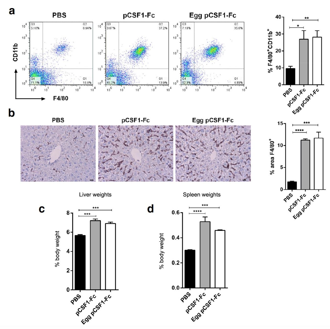 Генетика и куры: белок CSF1-Fc человека в яичном белке - 4