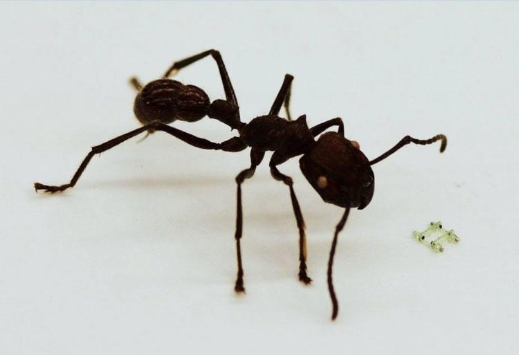 Четвероногий робот-малютка размером с голову муравья бегает со скоростью 134 метра в час